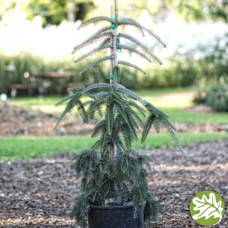 ABIES Green Spiral 6 gal.