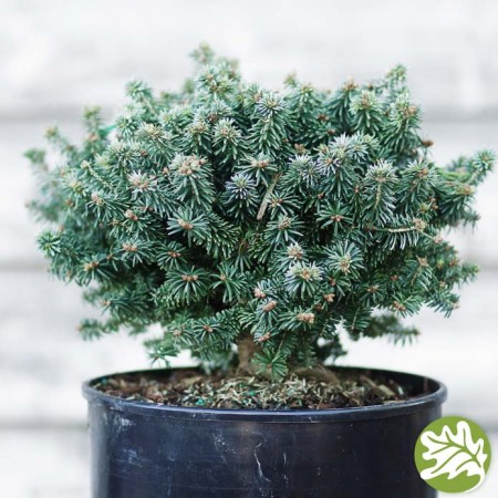 ABIES Piccolo 3 gal.