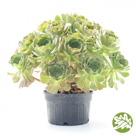 AEONIUM Blushing Beauty Jumbo 8