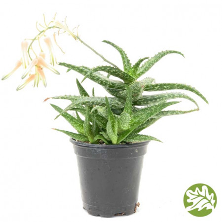 ALOE Rauhii Large 4