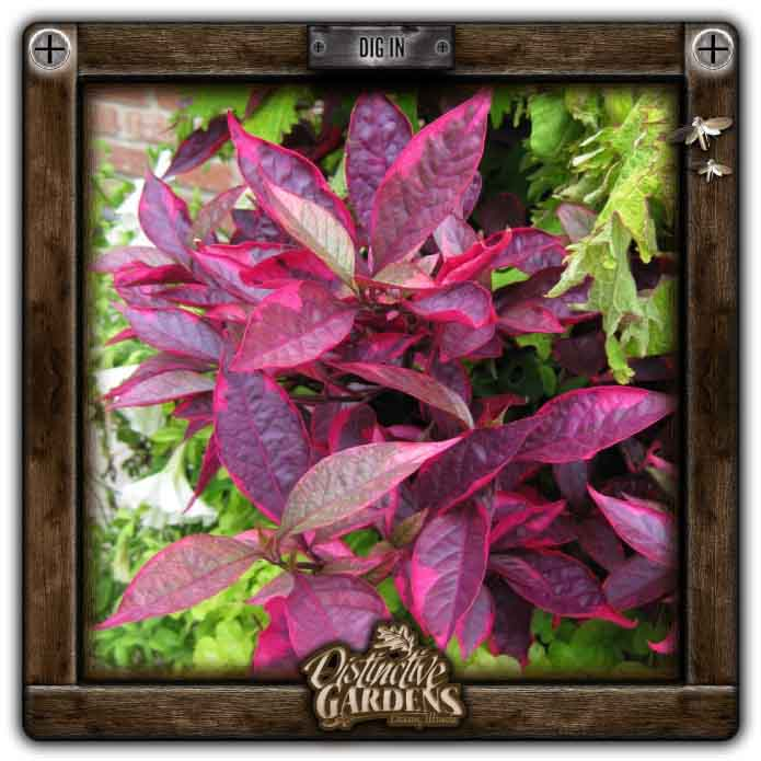 ALTERNANTHERA Brazilian Red Hots 4
