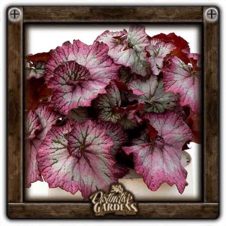 BEGONIA Nautilus Lilac 4