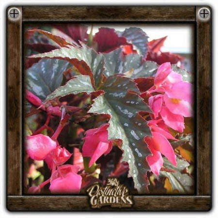 BEGONIA PedWings Lana 4