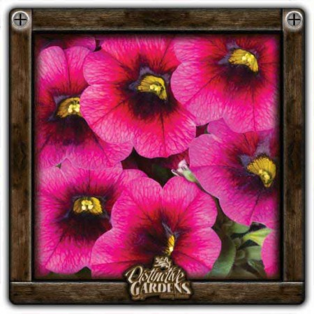 CALIBRACHOA Calitastic Plumberry Pop 4