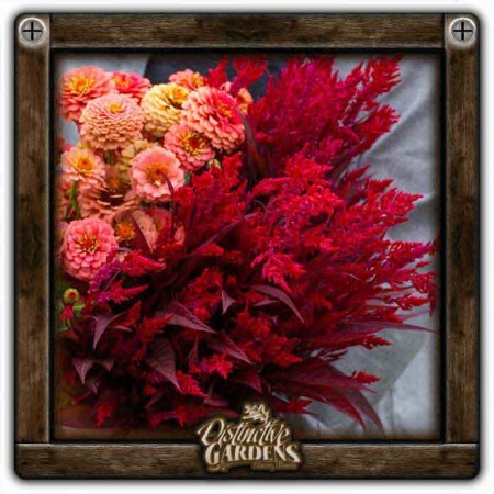 CELOSIA Dragons Breath 4