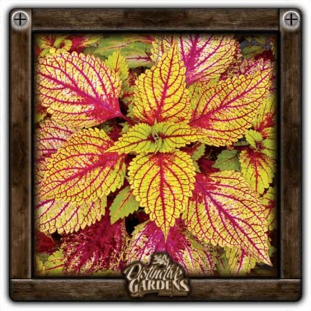 COLEUS Hottie 4