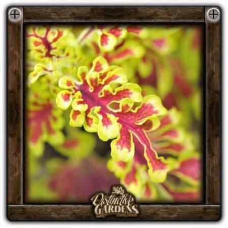 COLEUS UTS Electric Coral 4