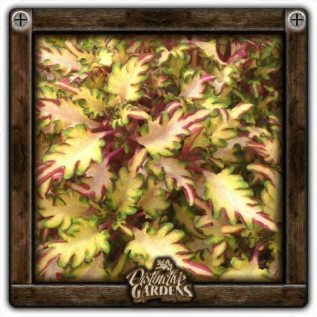 COLEUS UTS Sea Monkey Rust 4