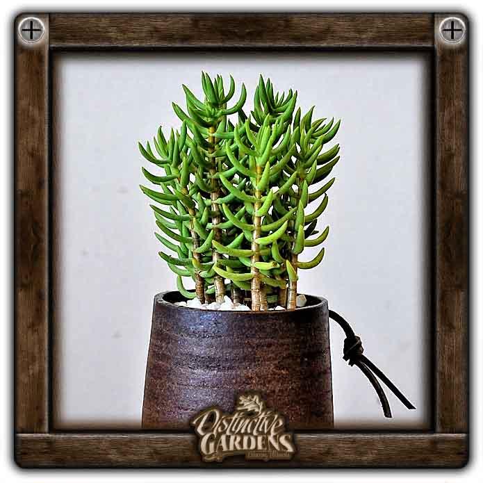 CRASSULA Miniature Pine Tree Medium 3
