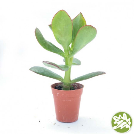 CRASSULA Ovata Mini 1.75
