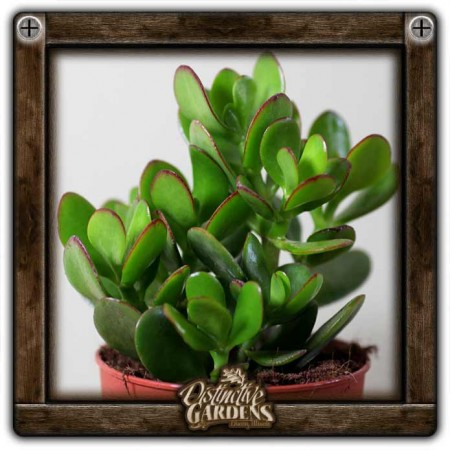 CRASSULA Ovata Large 4