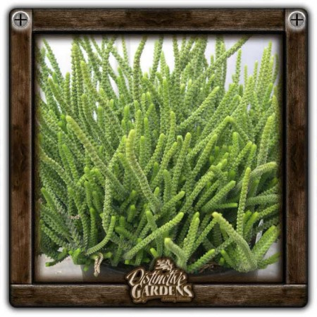 CRASSULA Princess Pine Large 4