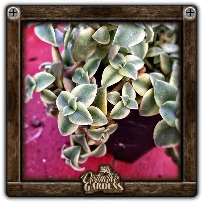 CRASSULA Variegated Trailing Large 4