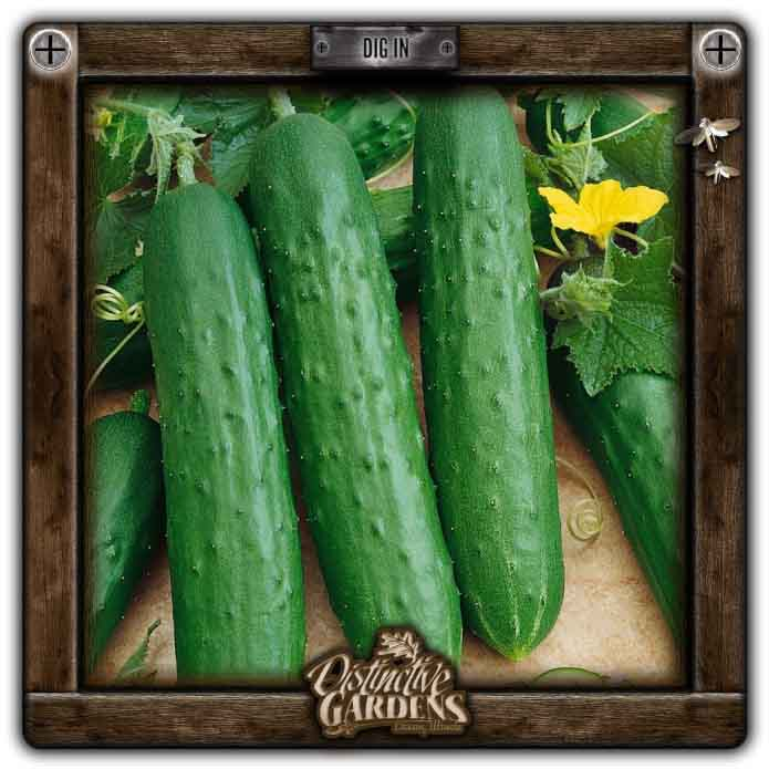 CUCUMBER Bush Champion 2