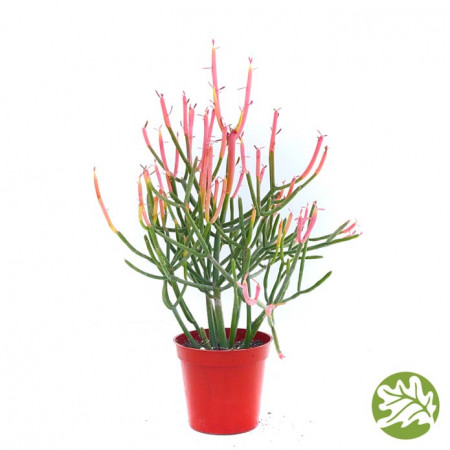 EUPHORBIA Firesticks Medium 3