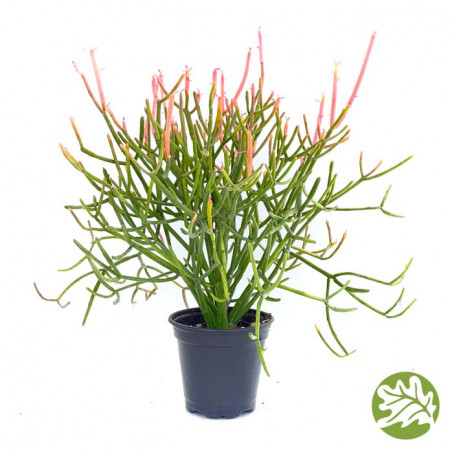 EUPHORBIA Firesticks Large 4