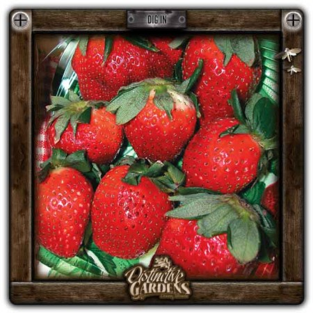 FRAGARIA All Star 4 pk.