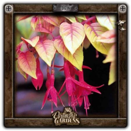 FUCHSIA Autumnale 4
