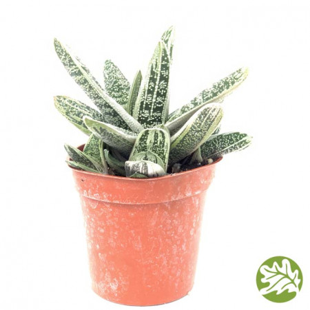 GASTERIA Little Warty Medium 3