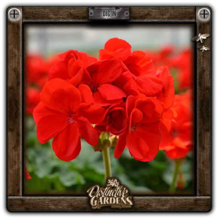 GERANIUM ANNUAL Patriot Bright Red 4