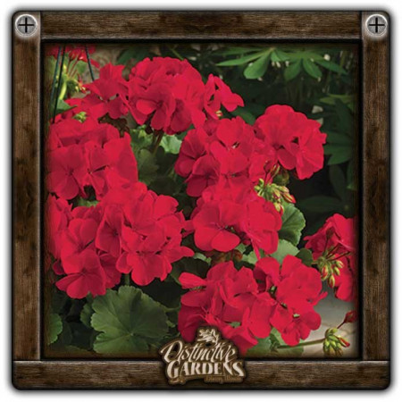 GERANIUM ANNUAL Calliope Dark Red 4