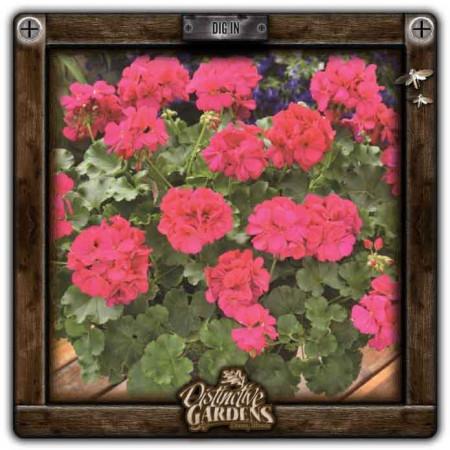 GERANIUM ANNUAL Calliope Hot Pink 4
