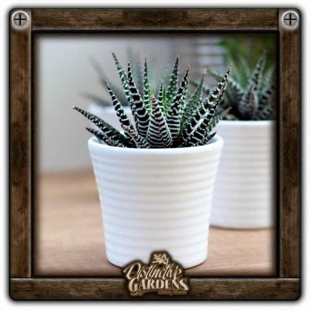 HAWORTHIA Big Band Medium 3