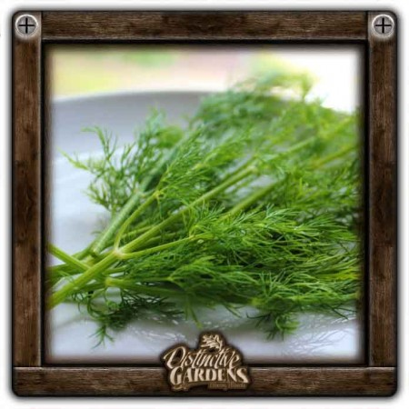 HERB Dill 2