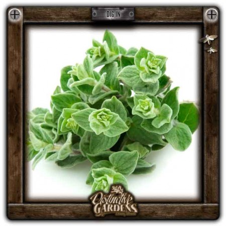 HERB Oregano 2