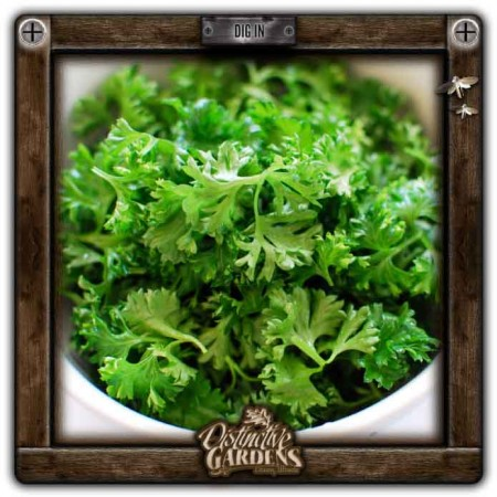 HERB Parsley 2