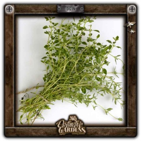 HERB Thyme 2