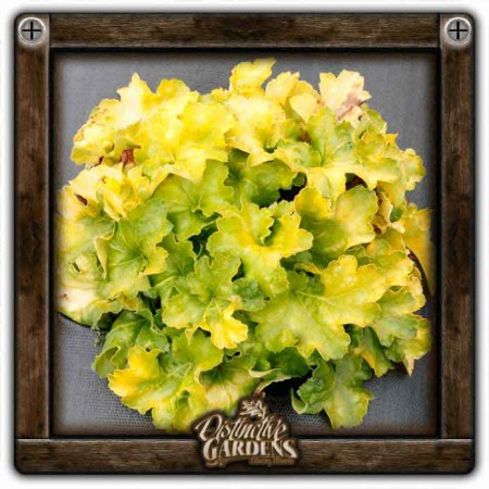 HEUCHERA Lemon Supreme gal.