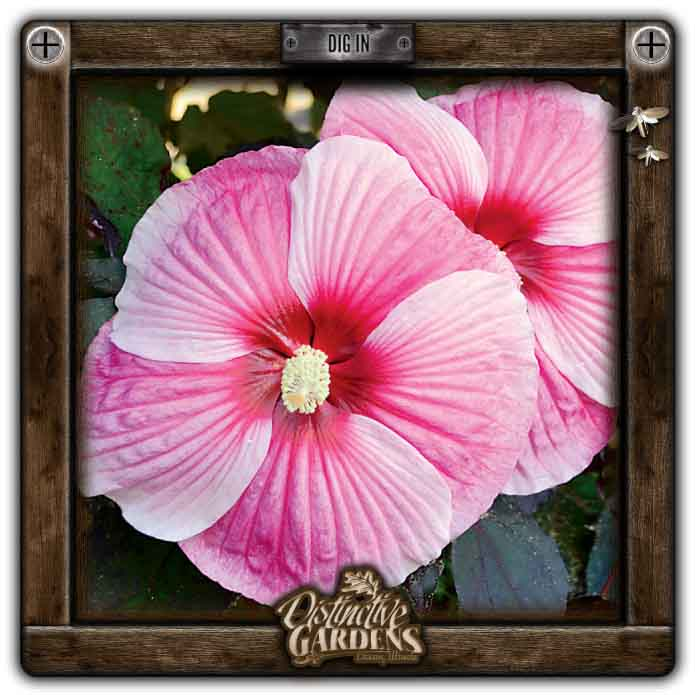 HIBISCUS PERENNIAL Starry Starry Nights 2 gal.