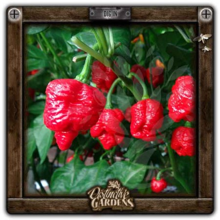 HOT PEPPER Trinidad Scorpion 2