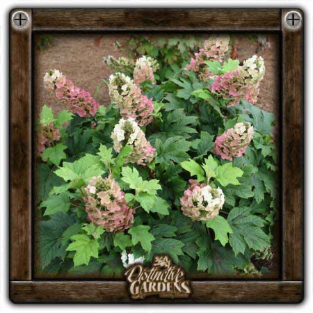 HYDRANGEA SHRUB Jetstream 3 gal.