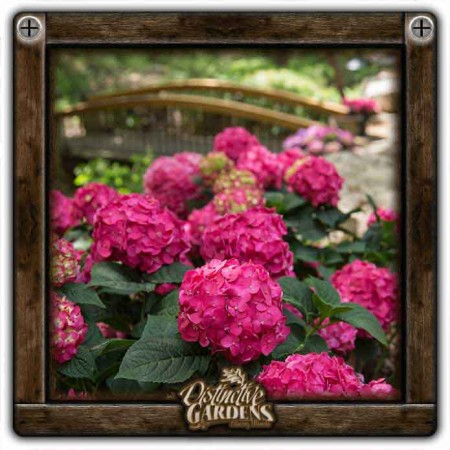 HYDRANGEA SHRUB Summer Crush 2 gal.