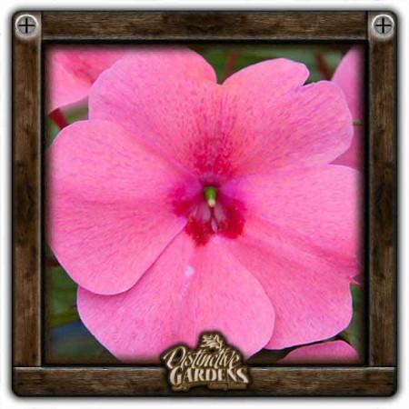 IMPATIENS Big Bounce Pink 4