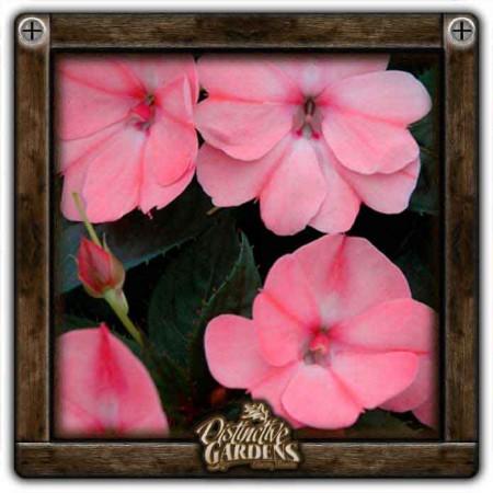 IMPATIENS SunPatiens Compact Blush Pink 4
