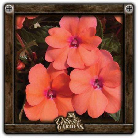 IMPATIENS SunPatiens Compact Coral Pink 4