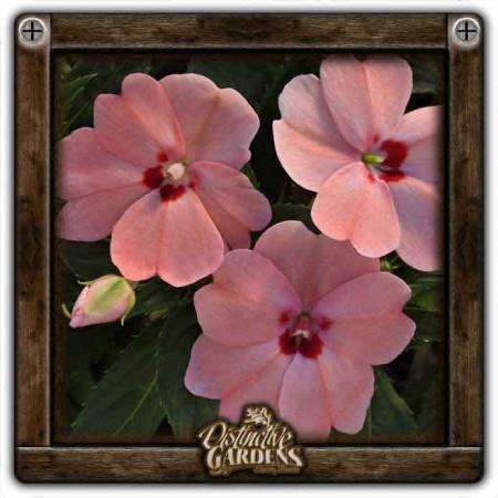 IMPATIENS SunPatiens Vigorous Pink Kiss 4