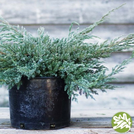 JUNIPERUS Blue Carpet 3 gal.