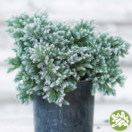 JUNIPERUS Blue Star 1 gal.
