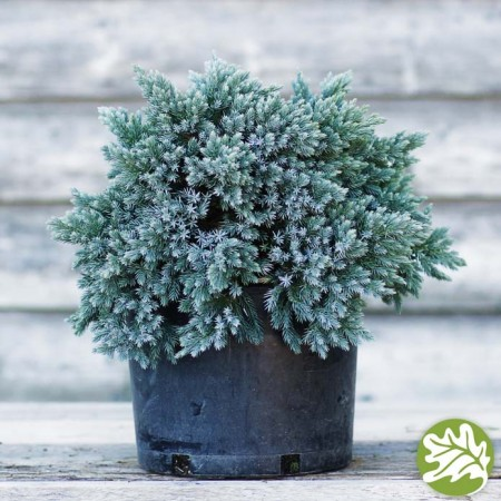 JUNIPERUS Blue Star 3 gal.