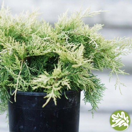 JUNIPERUS Golden Joy 1 gal.