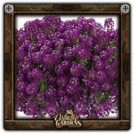 LOBULARIA Stream Purple 4