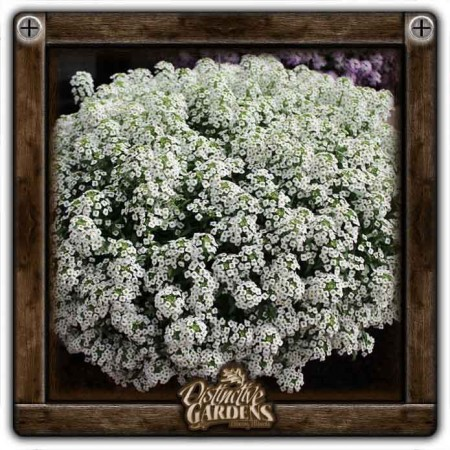 LOBULARIA Stream White 4