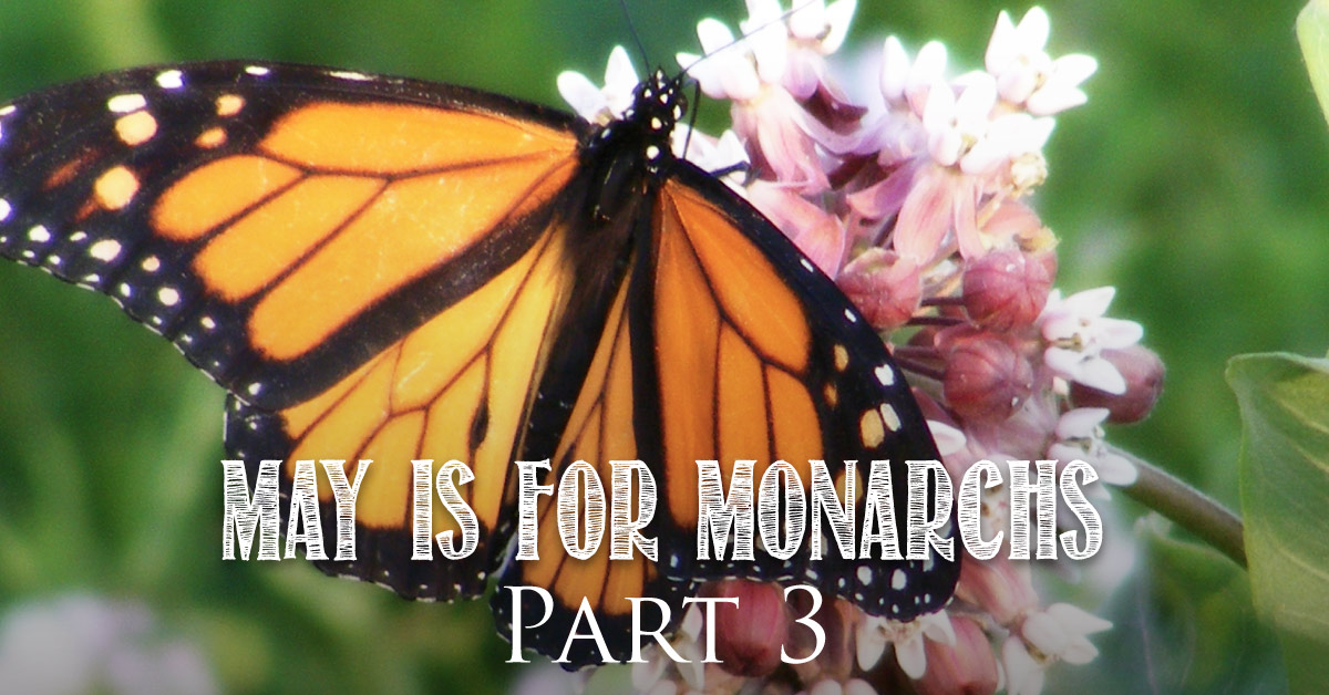 May is for Monarchs Part 3 : Monarch Decline