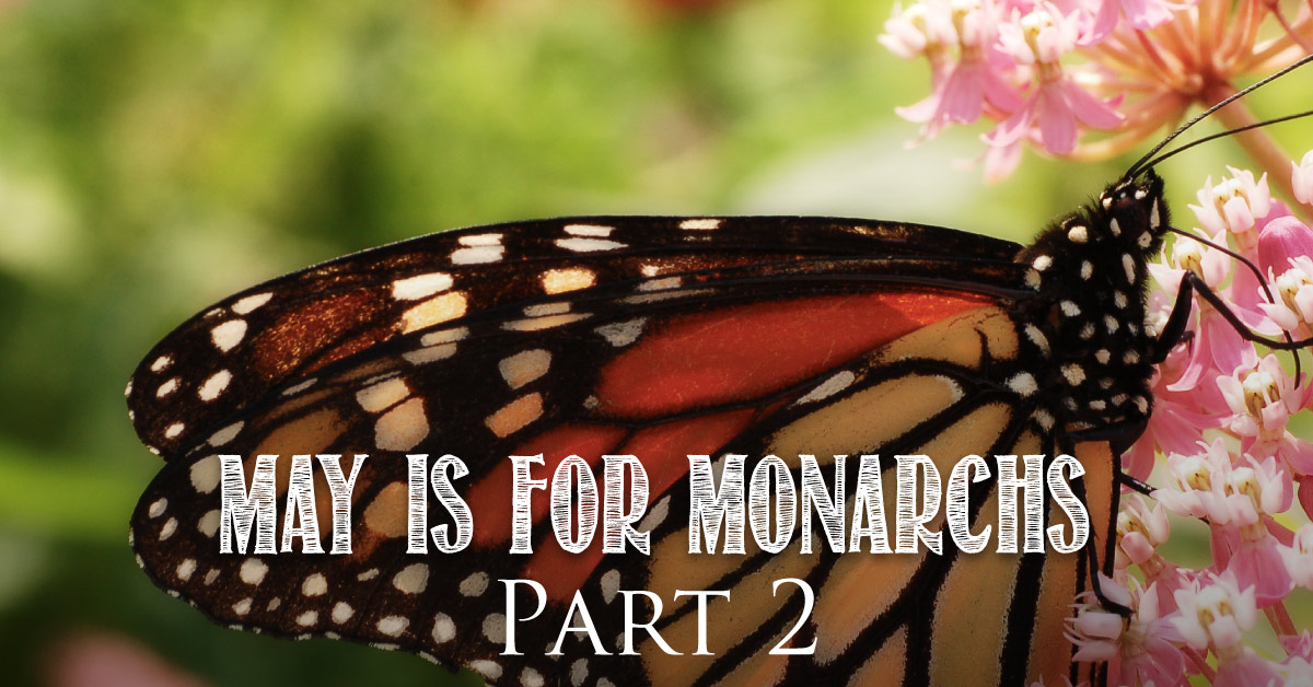 May is for Monarchs Part 2 : Milkweed
