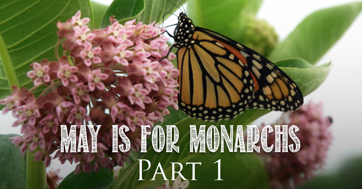 May is for Monarchs Part 1: Monarch Migration