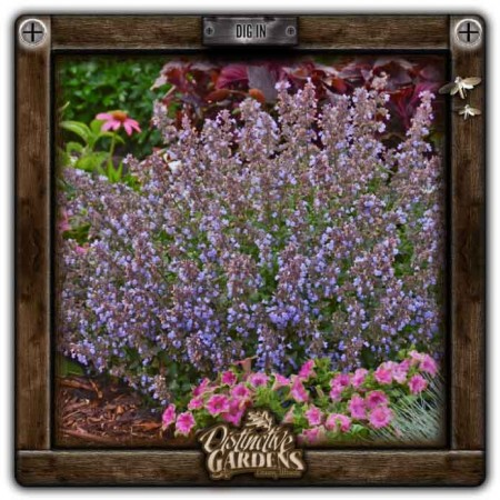 NEPETA Prussian Blue 4